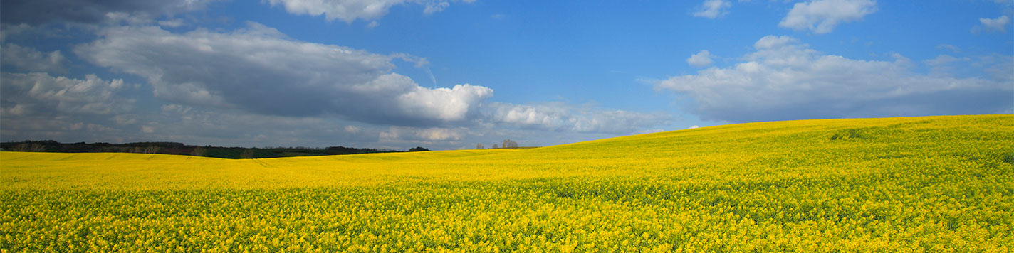 Image of a canola field against a blue sky