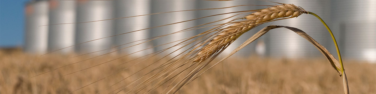 A close up image of a stock of wheat waving in the wind with grain bins in the background